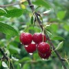 bc-cherry-tree